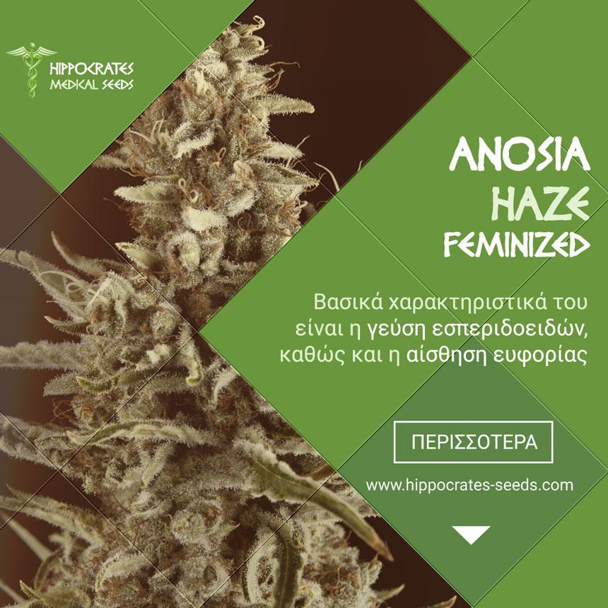 Το Anosia Haze αποτελεί το ''πάντρεμα'' των Lemon Haze X, Amnesia Haze  και Northern Light.